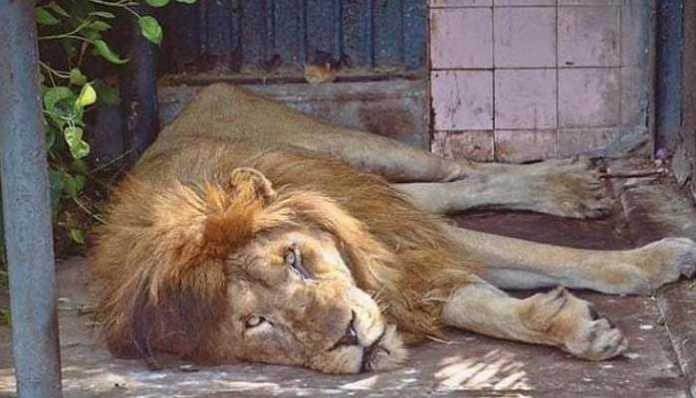 Lion dies of old age at Karachi Zoo