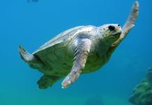 Pakistan: Green turtles facing extinction due to diesel smuggling